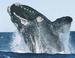 Caption: North Atlantic Right Whale, Credit: US Marine Mammal Commission