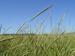 Caption: Wild Rice, Credit: Wisconsin DNR - by Eli Sager via Google Images.jpg