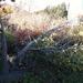 Caption: The Barrett Pear tree dies