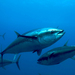 Caption: Eye to eye with a giant Atlantic bluefin tuna., Credit: Andrew Cummings.