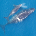Caption: Right whale mother and calf. Credit: Wikimedia Commons.  Biodiversity encompasses the variety of life and the variation of genes. It's also a central tenet of the Encyclopedia of Life. Credit: EOL.  The Encyclopedia of Life was born when biologist E.O. Wi, Credit: Wikimedia Commons.