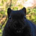 Black_squirrel_img_5604-thumb_small