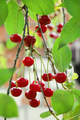 Cherry_in_orchard_small