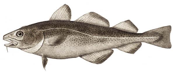 Atlantic_cod_small