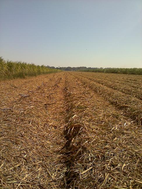 Caption: A cut sugar field in Paincourtville. , Credit: Tegan Wendland