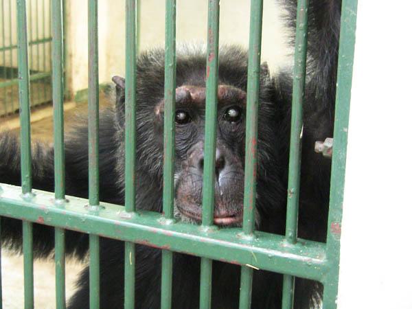Caption: Poco- one of the orphaned Chimpanzees, Credit: Elleni Stephanou