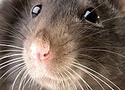 Caption: Oh, Rats!, Credit: Seth Shostak