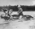 Roosevelt-riding-a-bull-moose_small