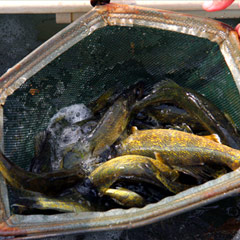 Caption: Walleye fingerlings, Credit: Steve Mortensen