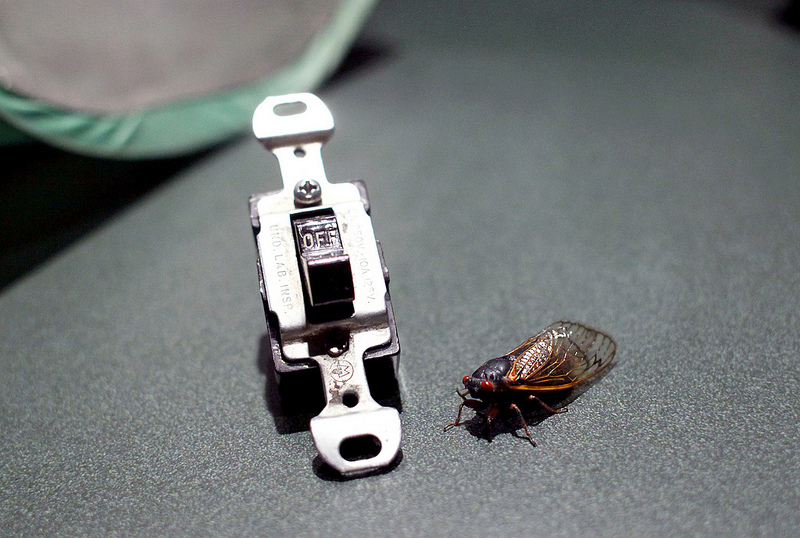 Caption: Cicada and light switch - a love story., Credit: Chion Wolf