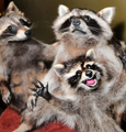 Raccoon_taxidermy_anthropomorphism_small