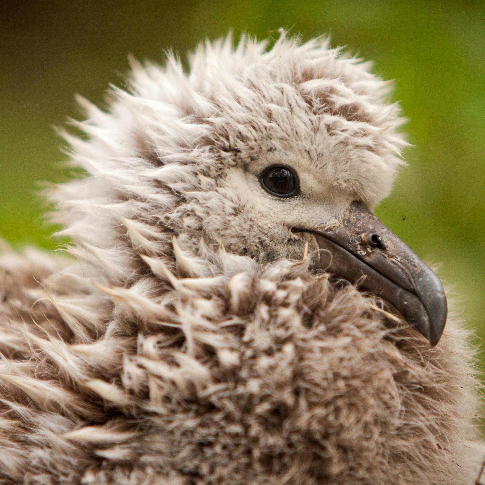 Caption: An albatross shot on Midway island during production., Credit: Kris Krüg
