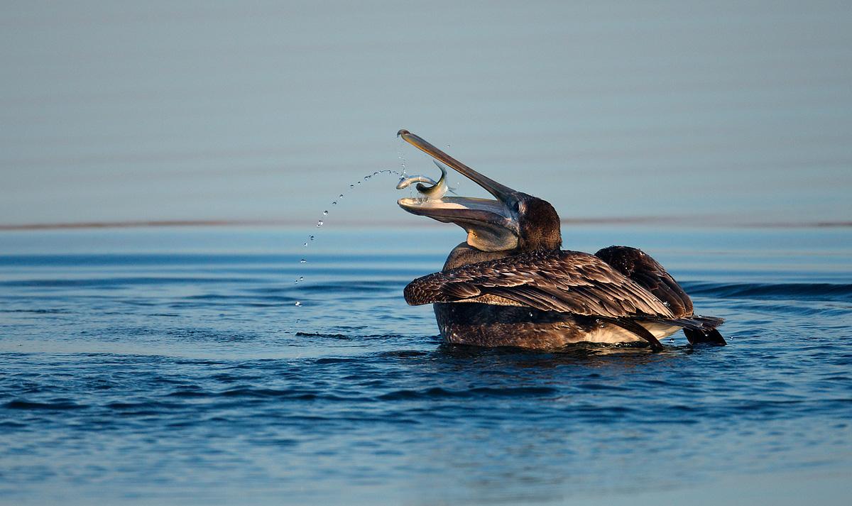 11-12-10_pelican_w_menhaden__scipio_creek_small