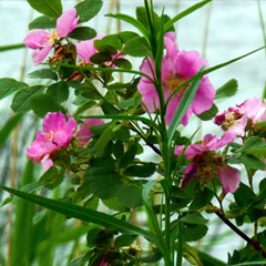 Caption: Waabgwani-  Oginii (Wild Rose)