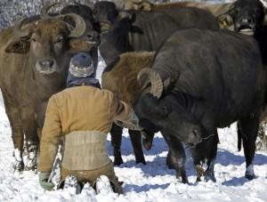 Caption: Dubi tending to his water buffalo.