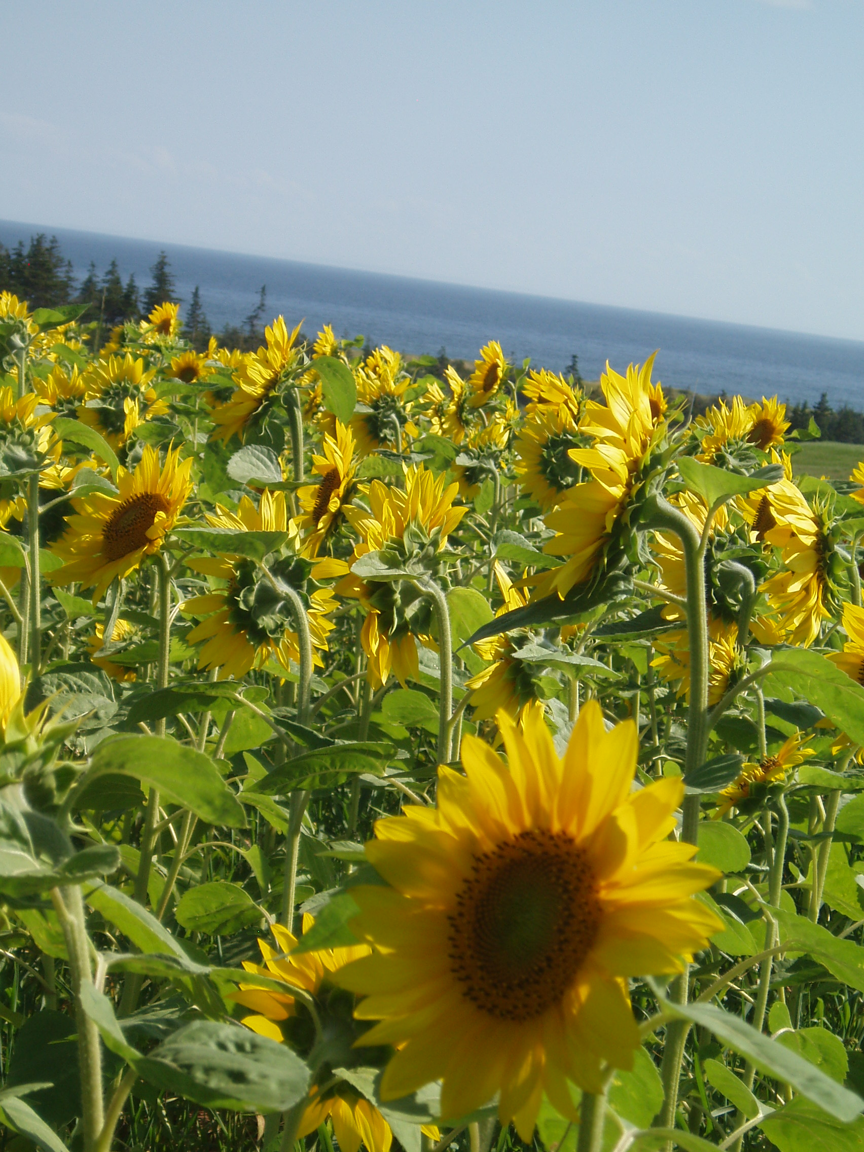 Caption: Fields of sunflowers on PEI up near Souris., Credit: Charles McGuigan