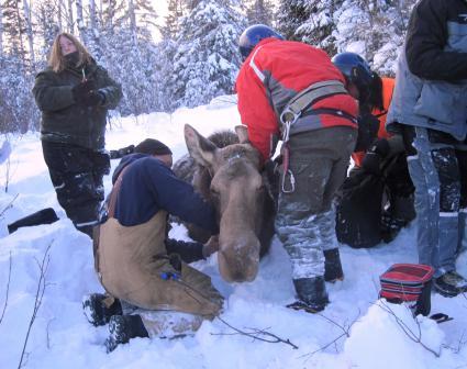 Caption: Dr. Seth Moore radio-collars a moose