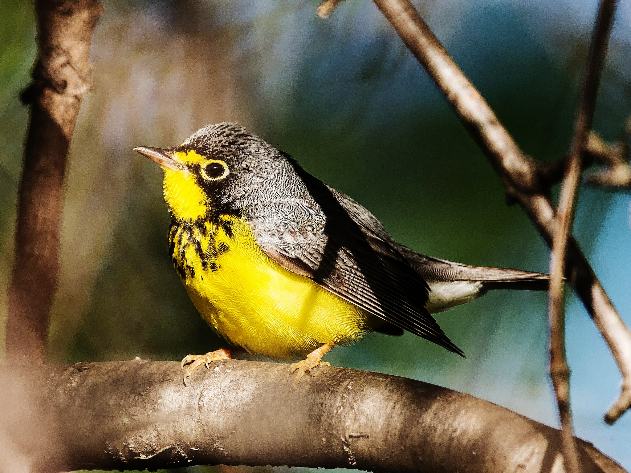 Caption: Canada warbler, Credit: John Benson on Flickr