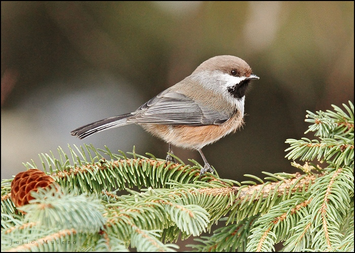 Caption: Boreal chickadee, Credit: Julio Mulero