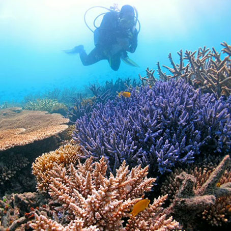 Caption: Staghorn coral at the Great Barrier Reef., Credit: Ray Berkelmans