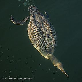 Caption: Common Loon, Credit: Matthew Studebaker