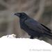 Caption: Common Raven, Credit: Richard Wesley