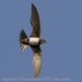 Caption: Alpine Swift, Credit: Agustin Povedano
