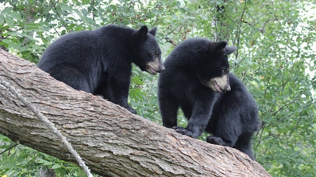 Caption: Black Bears, Credit: Courtney Celley/USFWS