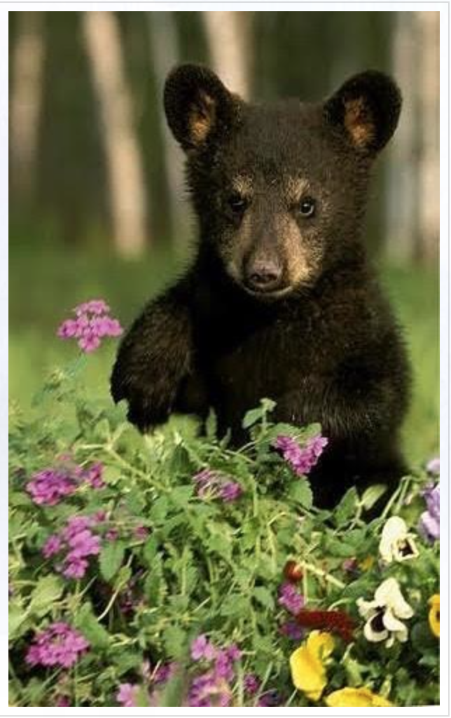 Caption: Black Bears Eating Blueberries is a new Native focused publishing company based in the Great Lakes region., Credit: Blackbearsandblueberries.com