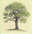 Chestnut20tree20drawing_small