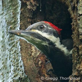 Caption: Pileated Woodpecker, Credit: Gregg Thompson
