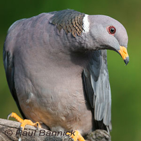 Caption: Band-tailed Pigeon, Credit: Paul Bannick