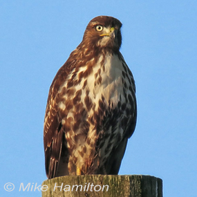 Caption: Red-tailed Hawk, Credit: Mike Hamilton