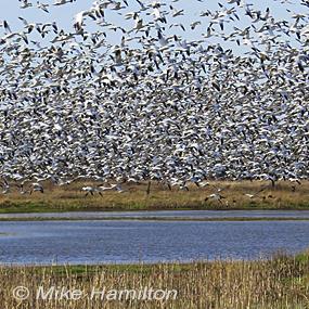 Caption: Snow Geese, Credit: Mike Hamilton