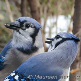 Caption: Blue Jays, Credit: Maureen Harding