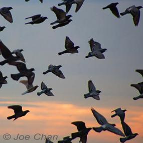 Caption: Pigeons, Credit: Joe Chan