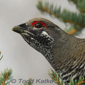 Caption: Spruce Grouse, Credit: Todd Katke