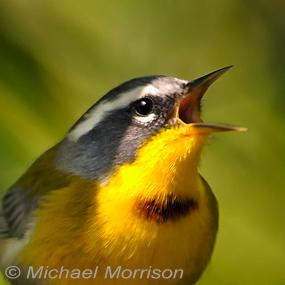 Caption: Crescent-chested Warbler, Credit: Michael Morrison