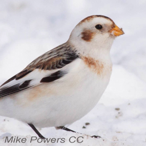 Caption: Snow Bunting, Credit: Mike Powers
