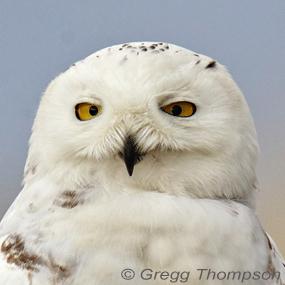 Caption: Snowy Owl, Credit: Gregg Thompson