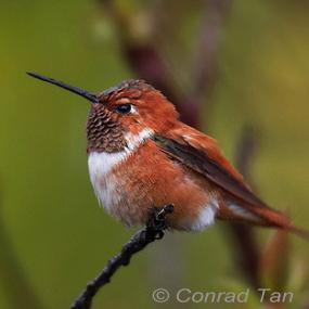 Caption: Rufous Hummingbird, Credit: Conrad Tan
