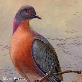 Caption: Passenger Pigeon, Credit: Allan Brooks