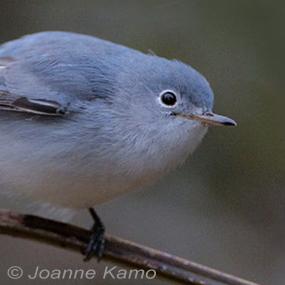 Caption: Blue-grat-Gnatcatcher, Credit: Joanne Kamo