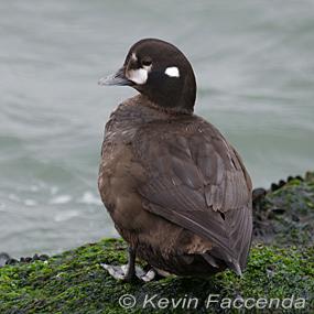 Caption: Female Harlequin Duck, Credit: Kevin Faccenda