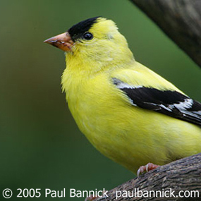 Caption: American Goldfinch, Credit: Paul Bannick