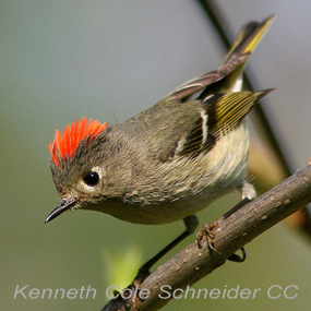 Caption: Ruby-crowned Kinglet, Credit: Kenneth Cole Schneider