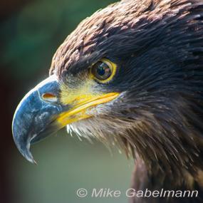 Caption: Golden Eagle, Credit: Mike Gabelmann