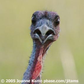 Caption: Wild Turkey, Credit: Joanne Kamo