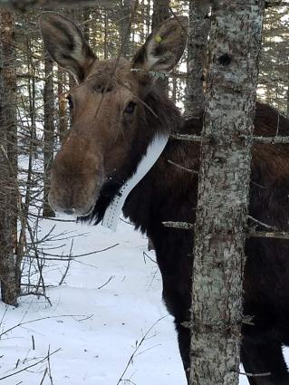 Caption: Isle Royale moose study Feb 2019, Credit: Dr. Seth Moore, Director of Biology and Environment for the Grand Portage Band of Lake Superior Chippewa.