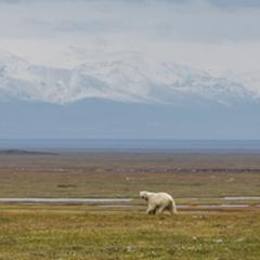 Caption: A polar bear ambles across a grassy plain just outside Kaktovik, Alaska, Credit: Nick Mott